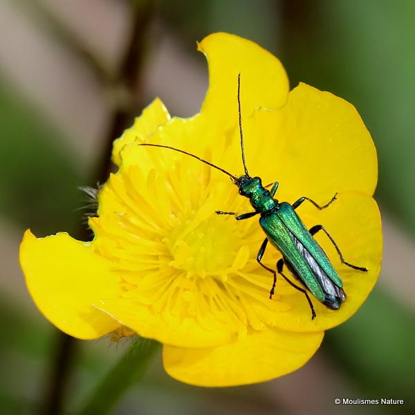 False Oil Beetle (Oedemera nobilis) F