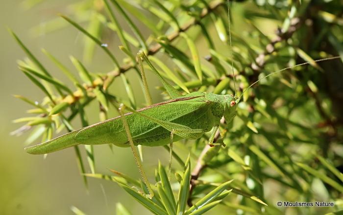 Mediterranean Katydid (Phaneroptera nana) F