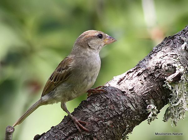 House Sparrow (Passer domesticus) Juv