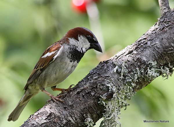House Sparrow (Passer domesticus) M-S