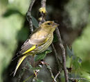 European Greenfinch (Carduelis chloris) Juv