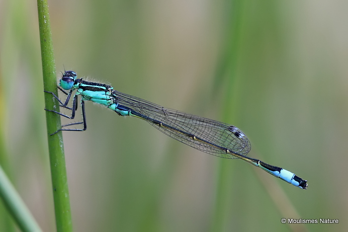Blue-tailed Damselfly (Ischnura elegans) M