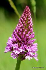 Pyramidal Orchids (Anacamptis pyramidalis)