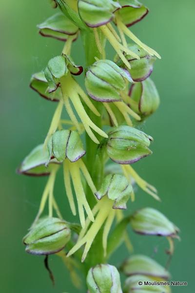 Man Orchid (Aceras anthropophorum)