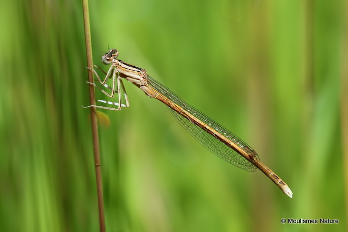 Orange White-legged Damselfly (Platycnemis acutipennis) M-imm