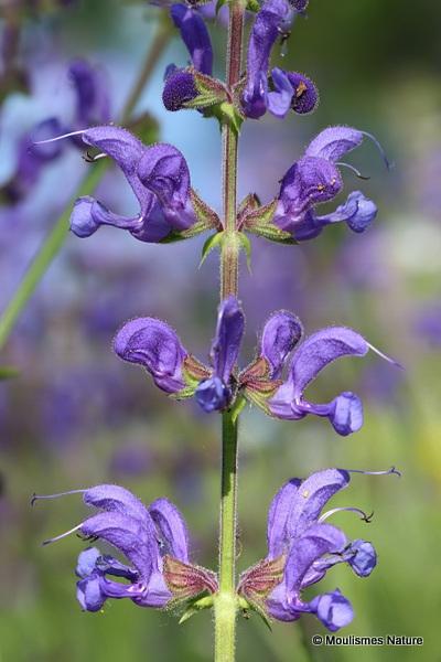 Salvia pratensis, Meadow Clary
