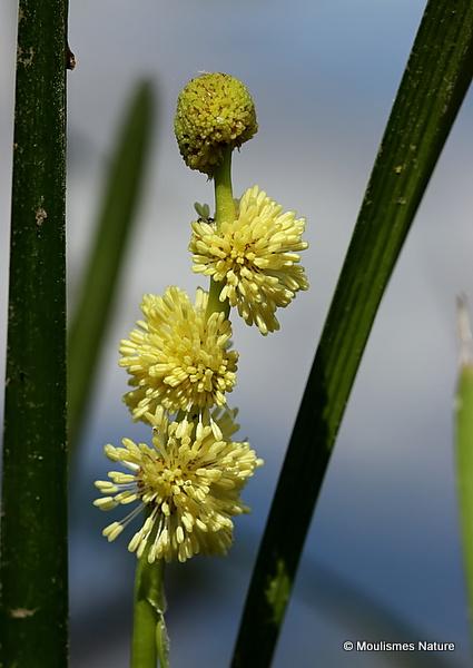 Sparganium simplex, Unbranched Bur reed