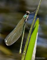 Banded Demoiselle (Calopteryx splendens) F-ten