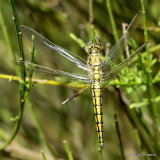 Black-tailed Skimmer (Orthetrum cancellatum) M-ten