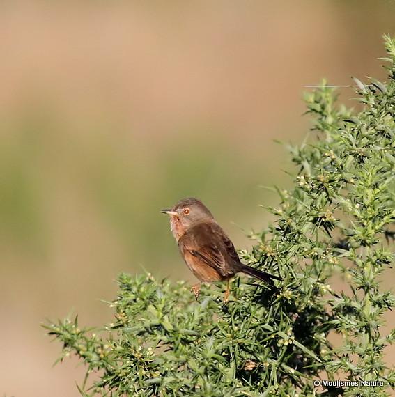 Dartford Warbler (Sylvia undata) F/Imm