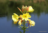 Oenothera glazioviana, Large-flowered Evening Primrose