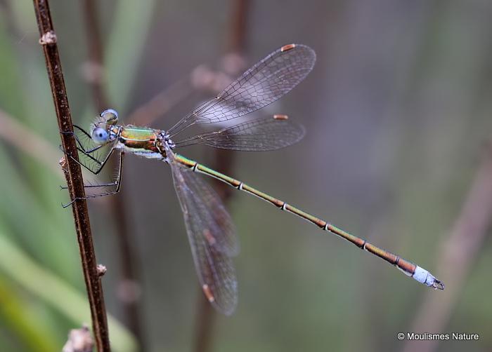 Small Emerald (Lestes virens) M