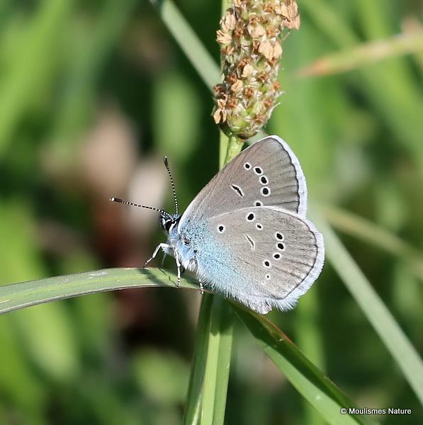 Mazarine Blue (Cyaniris semiargus) M