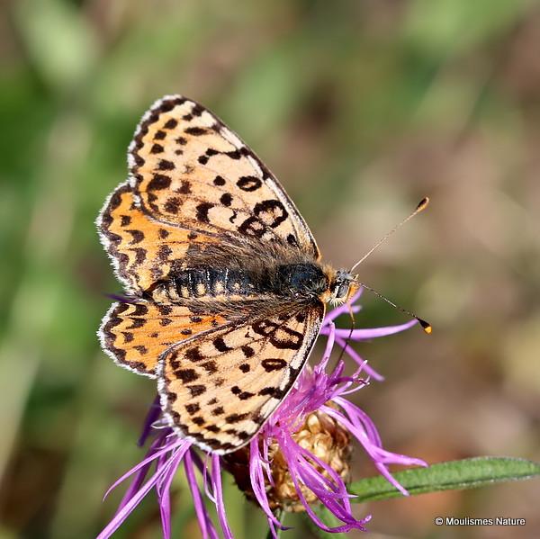 Spotted Fritillary (Melitaea didyma) F