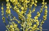 Verbascum purpureum, Hoary mullein