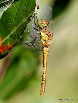 Common Darter (Sympetrum striolatum) M-Imm