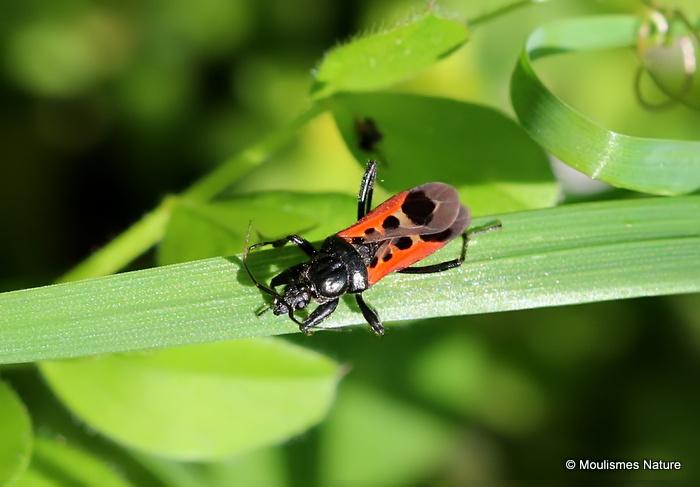 Assassin Bug sp. Pirates hybridus