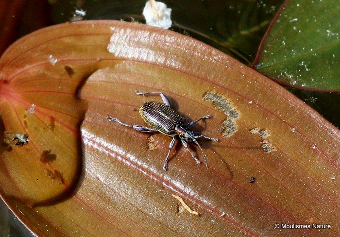 Leaf Beetle sp. Donacia versicolorea