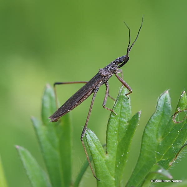 Stilt Bug sp. (Berytidae sp.)