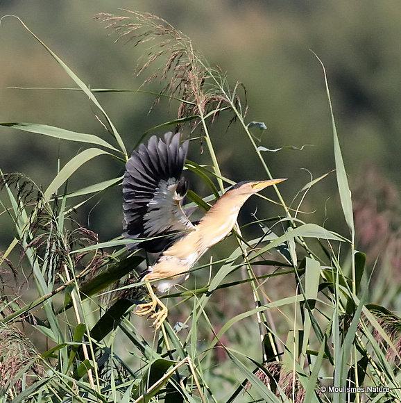 Little Bittern (Ixobrychus minutus) M, Blongios nain
