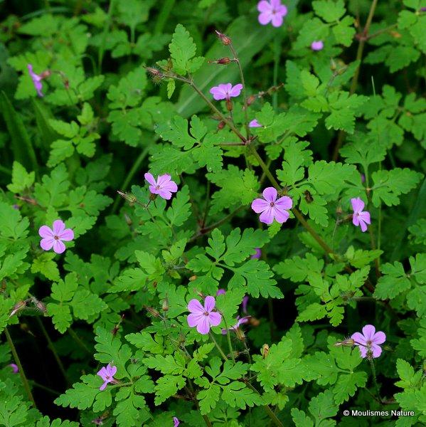 Geranium robertianum, Herb Robert