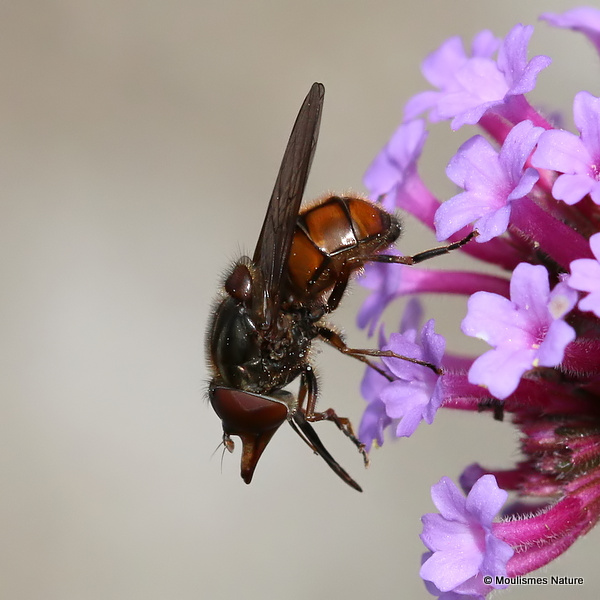 Rhingia campestris (Common Snout-hoverfly)