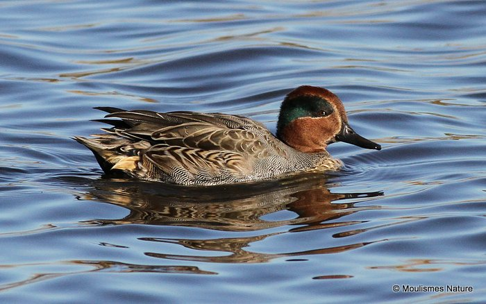Common Teal (Anas crecca) M, Sarcelle d'hiver