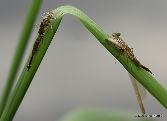 Red-eyed Damselfly (Erythromma najas)