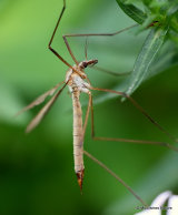 European Crane Fly (Tipula paludosa) F