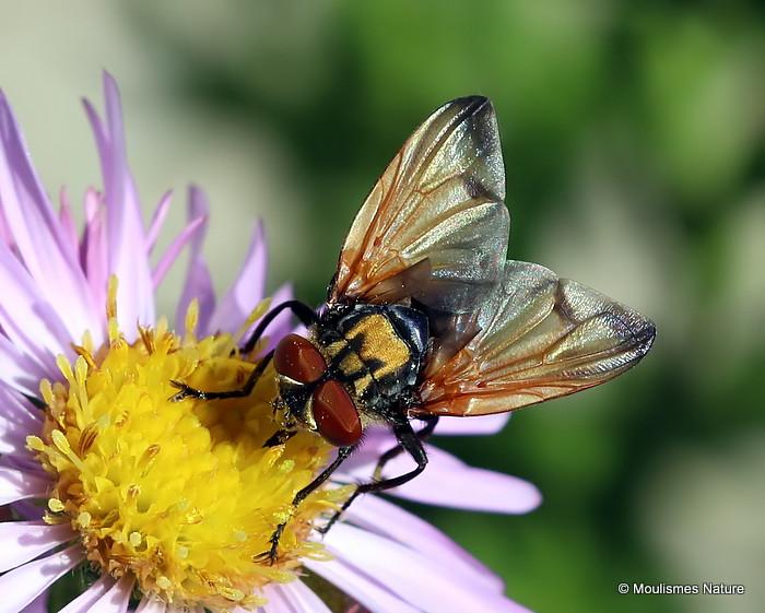 Tachinid fly sp. Phasia aurulans M