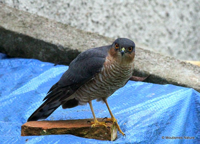 Eurasian Sparrowhawk (Accipiter nisus) M-Ad, Epervier d'Europe