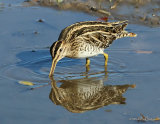 Common Snipe (Gallinago gallinago), Becassine des marais