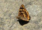 Lesser Purple Emperor (Apatura ilia), Le Petit Mars changeant