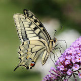 Swallowtail (Papilio machaon), Le Machaon