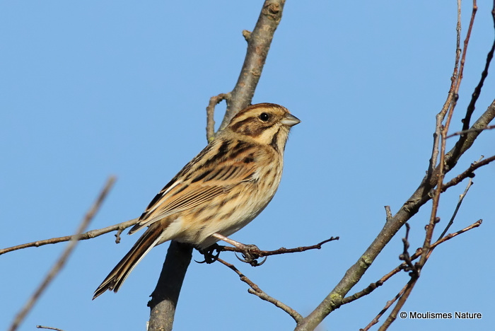 Common Reed Bunting (Emberiza schoeniclus) F/1W