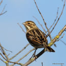 Common Reed Bunting (Emberiza schoeniclus) M-1W