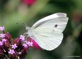 Large White (Pieris brassicae) F, La Piéride du chou