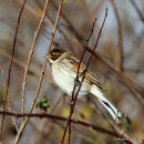 Common Reed Bunting (Emberiza schoeniclus) M-AdW, Bruant des roseaux