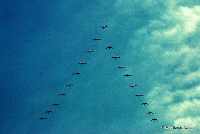 Grus grus en migration