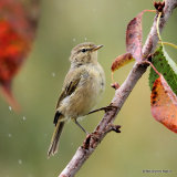 Common Chiffchaff (Phylloscopus collybita) Juv