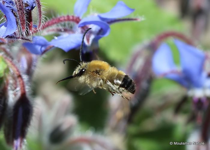 Long-horned bee (Eucera) sp. M