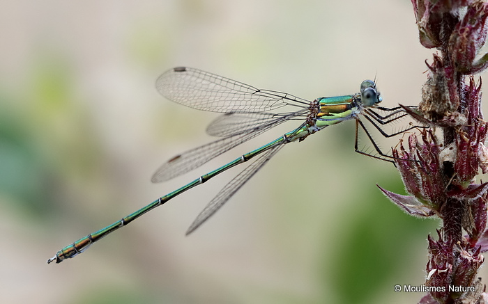 Willow Emerald (Lestes viridis) M