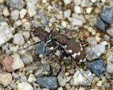 Dune Tiger Beetle (Cicindela hybrida)