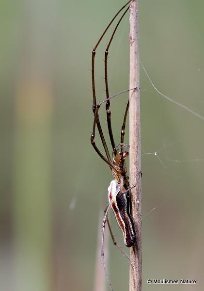 Common Stretch-spider (Tetragnatha extensa)