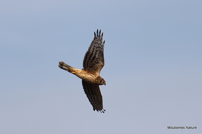 Hen Harrier (Circus cyaneus) Juv