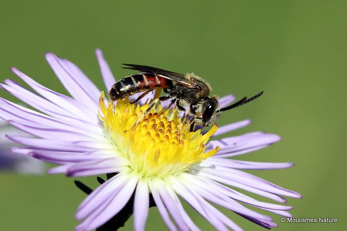 Common Furrow Bee (Lasioglossum calceatum) M
