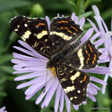 Map Butterfly (Araschnia levana) 2nd brood