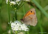 Meadow Brown (Maniola jurtina) M, Le Myrtil