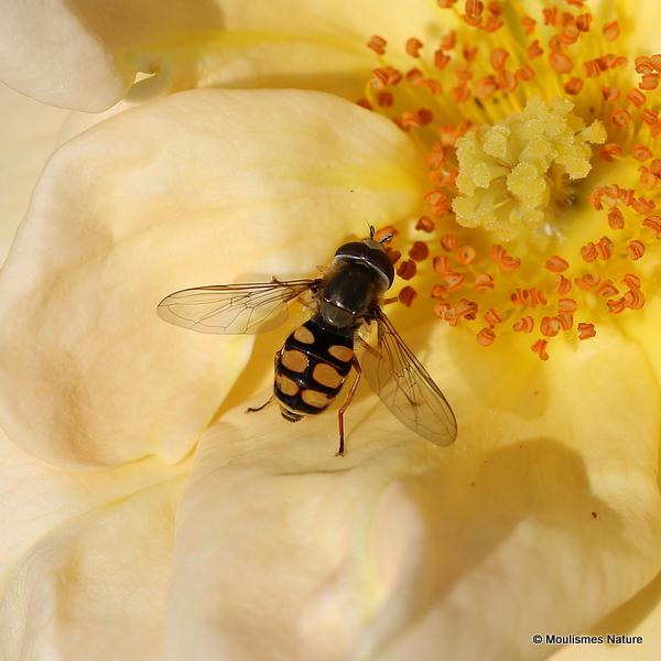 Unidentified Syrphidae sp.