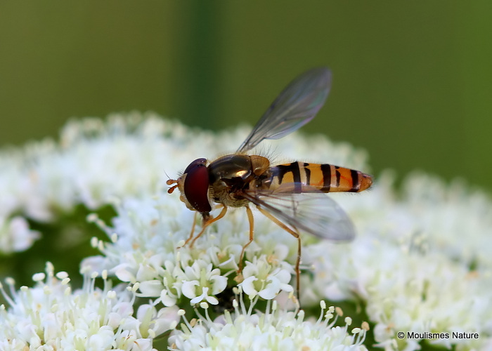 Episyrphus balteatus (Marmalade Hoverfly) M